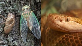 Brood X: Myth that cicadas increase copperhead sightings debunked