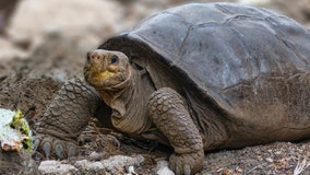 Giant tortoise thought to be extinct more than 100 years ago found in Galapagos