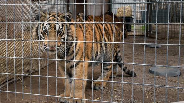 Feds seize 68 big cats from Oklahoma animal park featured in 'Tiger King'