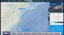 Great white sharks migrating along East Coast
