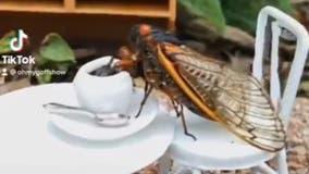 Angie Goff has fun with cicadas on TikTok with sundaes, skits