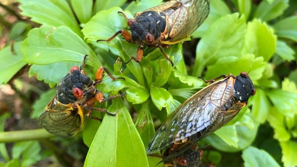 Cicadas can lead to vehicles overheating, other road dangers, AAA says