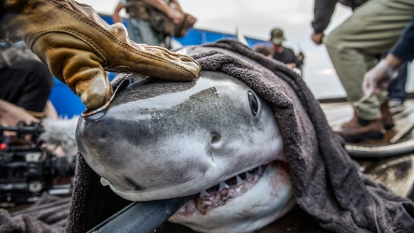 Great white shark spotted at Delaware Bay, heading up Eastern Shore