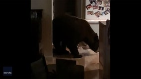 Bear invades home, raids pantry and freezer while residents watch