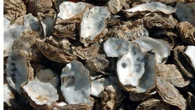 Diners' discarded oyster shells help establish new colonies, experts say