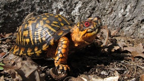 Box turtle pet ban now in effect in Virginia