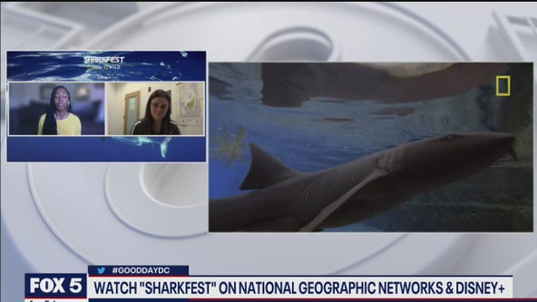 Watch 'Sharkfest' on National Geographic networks and Disney+