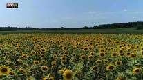Summer of Sunflowers in Virginia