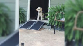 Rescue dog tests out new wheelchair ramp in heartwarming video