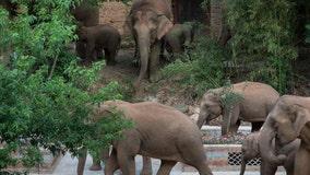 China's migrating elephant herd may be finally heading home