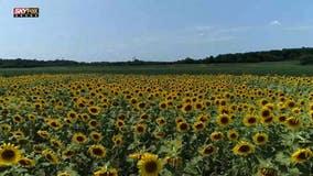 Video: Summer of Sunflowers in Virginia