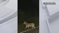Maryland owner of zebras that broke loose faces criminal charges