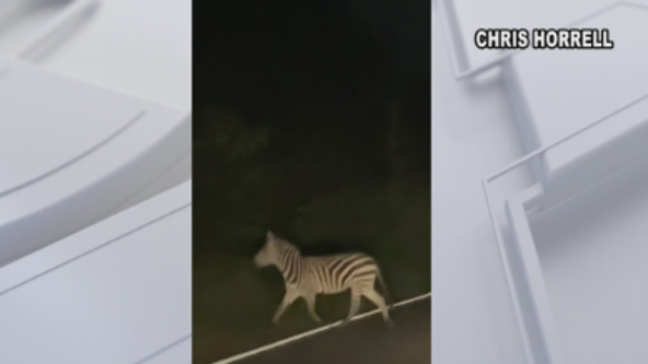Another zebra sighting reported in Prince George's County