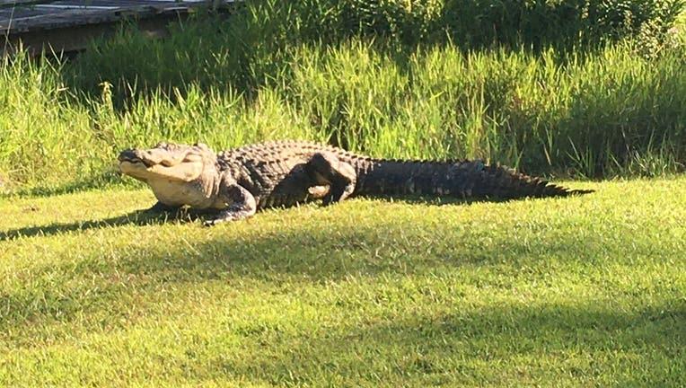 Okefenokee Joe alligator