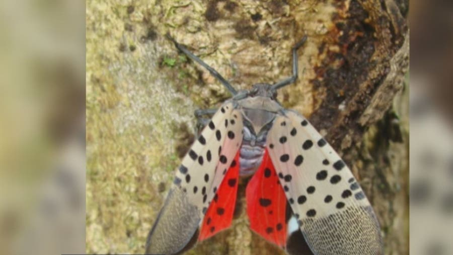 Spotted lanternfly has Virginia vineyards, farmers concerned
