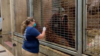 National Zoo vaccinating some primates; lions and tigers still recovering from COVID-19