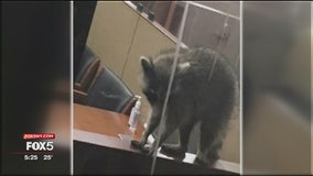 Raccoon intruder