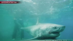 White shark in Long Island Sound