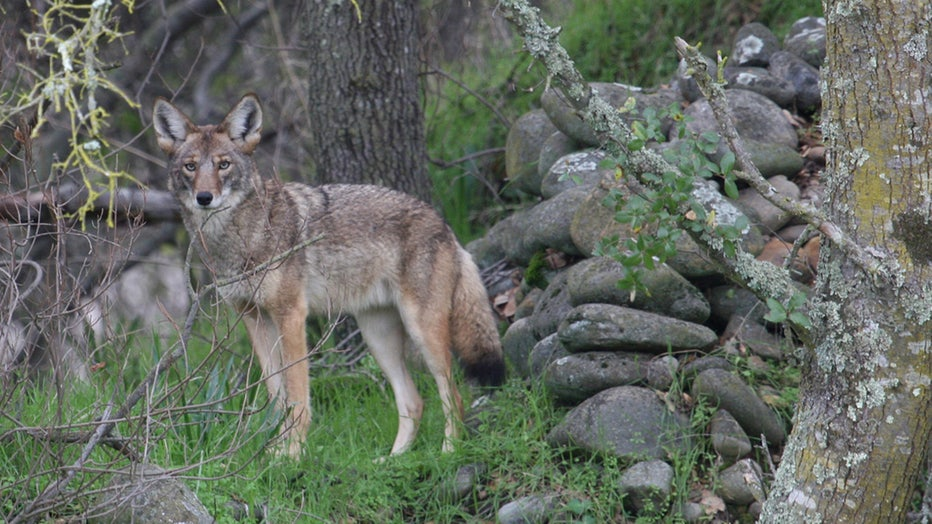A coyote in the woods
