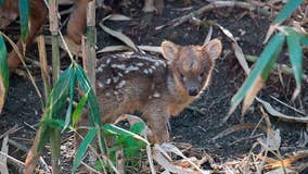Pudu fawn on display at the Queens Zoo