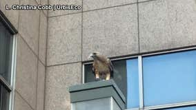 Video: Red-tailed hawk devours pigeon outside subway station
