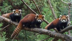 Baby red pandas on display at Prospect Park Zoo