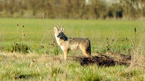 Second reported coyote attack near Rutgers campus