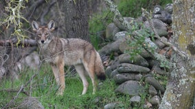 Cops warn NJ residents after coyote mauls dog
