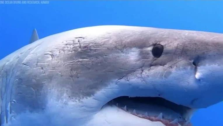 3ef7b170-Face_to_face_with_huge_great_white_shark_3_20190118153734-401385