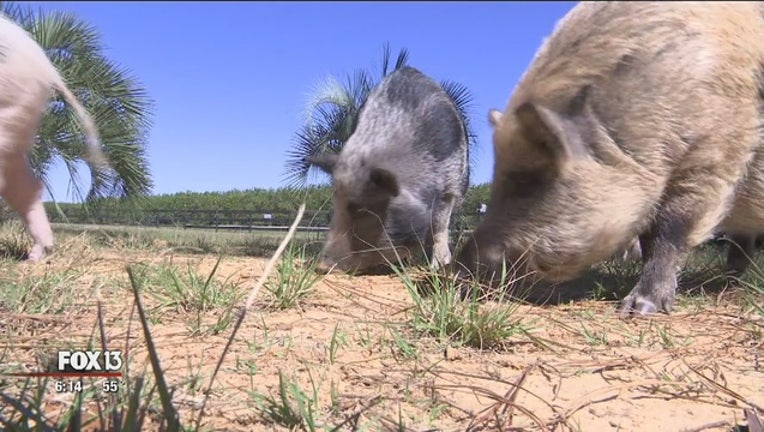 Pet_pigs_abandoned_when_they_grow_up_1_20160226234244-401385