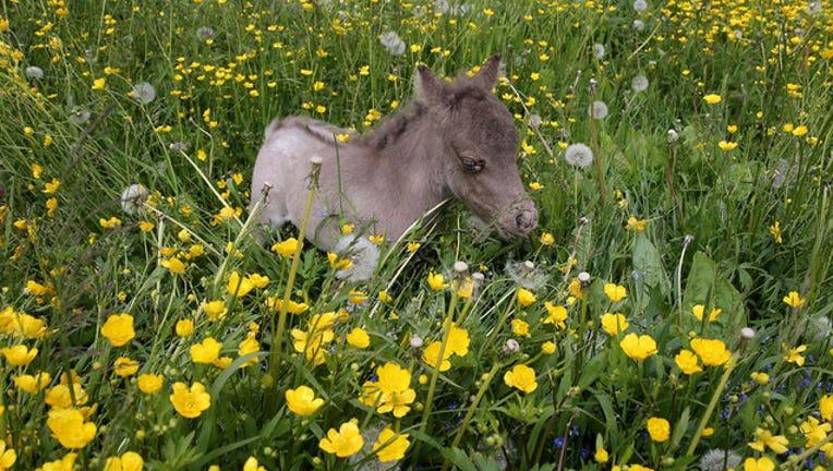 50409a7f-miniature-horse-getty-wnyw_1565896230667.jpg