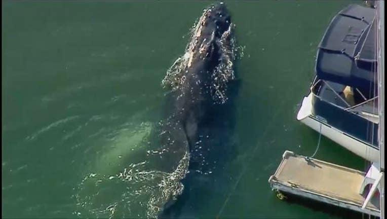 Whale trapped in Ventura Harbor in California-404023