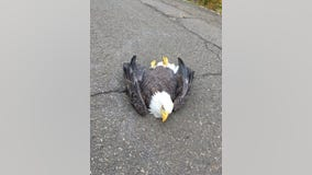 Injured bald eagle saved by Connecticut State Troopers