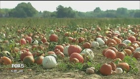 Scorching summer temperatures means plentiful pumpkins to pick this fall