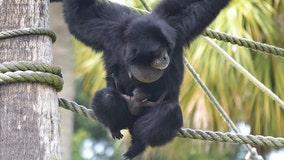 Endangered baby ape born at Florida animal park