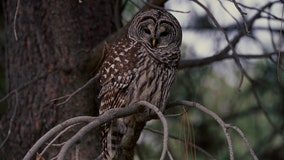 Killing one owl species to save another spurs moral questions