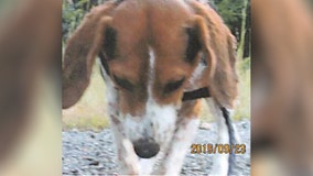 $8K reward offered for information in 'heinous' case of beagle found skinned alive