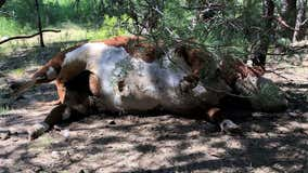 Carcasses of 5 bulls found mysteriously mutilated, drained of blood on Oregon ranch