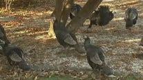 Wild turkeys roam retirement community in New Jersey