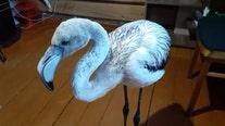 Baby flamingo found in Siberia