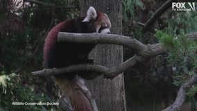 Red panda cubs in Brooklyn