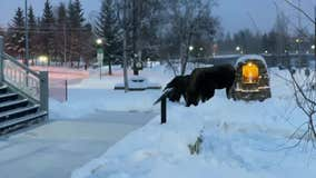 Munching moose block snow-covered Alaska sidewalk