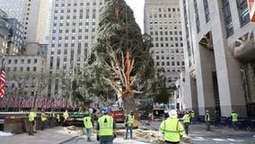 77-foot tree installed at New York City's Rockefeller Center