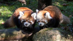 Red panda cubs on display at Prospect Park Zoo