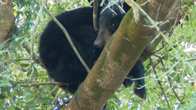 Bear cub trapped in tree over tiger enclosure at Florida wildlife sanctuary