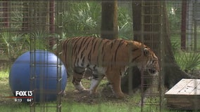 Big Cat Rescue takes in 3 tigers rescued from circus in Guatemala