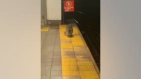 SEE IT: Raccoon spotted on Brooklyn subway platform