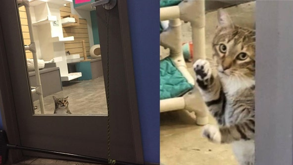 'He will not be contained': Quilty the shelter cat put in solitary confinement after repeatedly freeing other cats