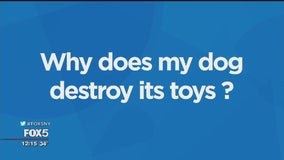 Why does my dog destroy its toys?