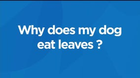 Why does my dog eat leaves?